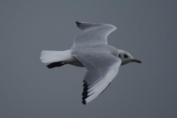 Random seagulls on River Shannon by cjlar