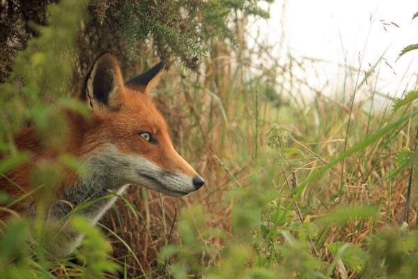 Fox by desborokev