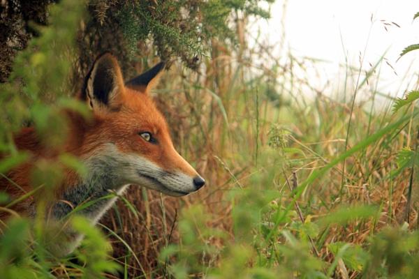 Red Fox by desborokev