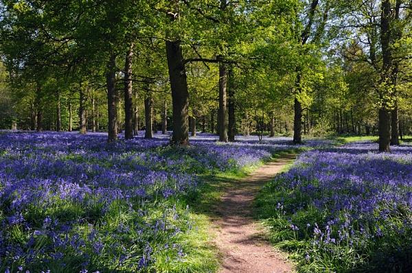 Bluebell wood by 1stdan