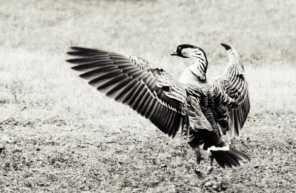 Nene Goose by niknakphoto
