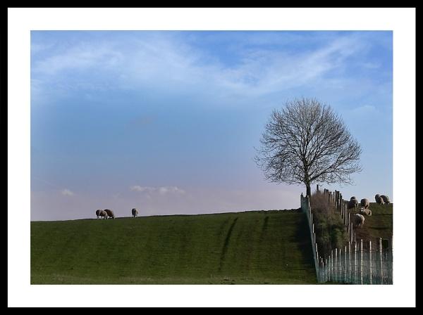 Sheep in a Field by carlw
