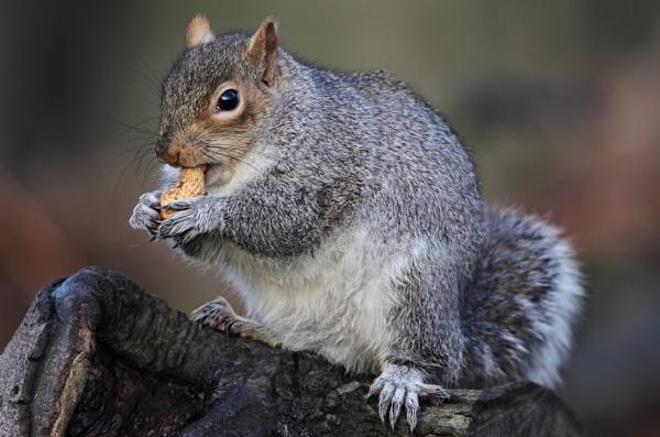 Grey Squirrel by GlenP