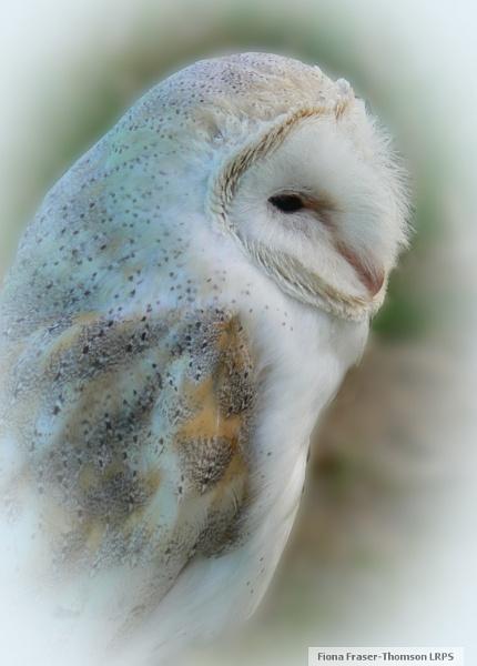 Snowy Barn Owl vignette by zazzycat