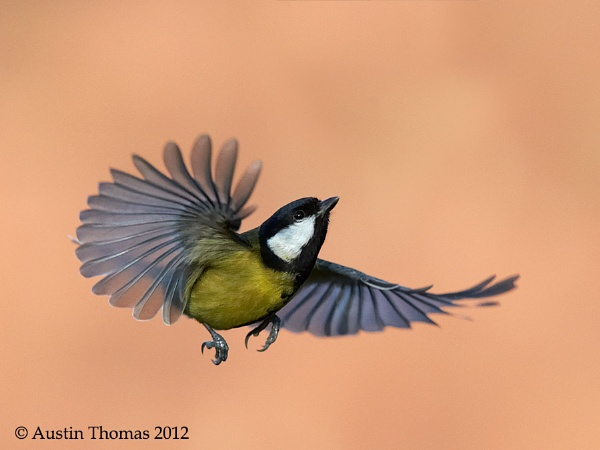 A Great Tit in flight by Austin_Thomas