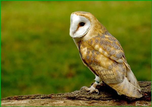 Barn Owl-Tyto alba.05. by Badgerfred