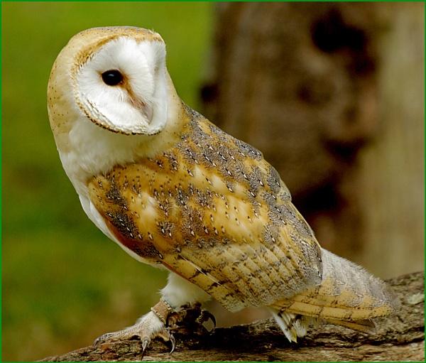 Barn Owl-Tyto alba.06.. by Badgerfred
