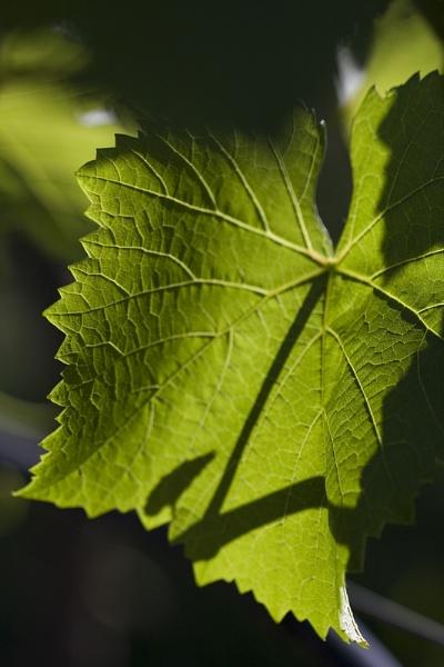 Vine Leaf by Elfix6