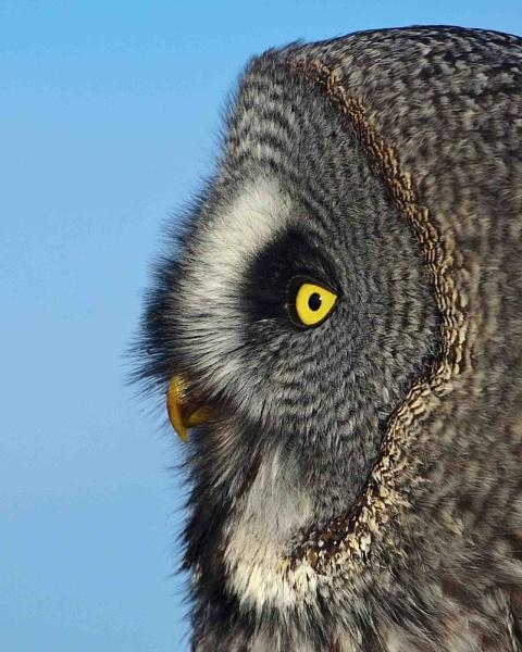Grey Owl by jonnydart