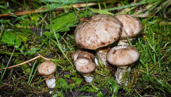 Sticky Bolete-Suillus viscidus by MrDennis