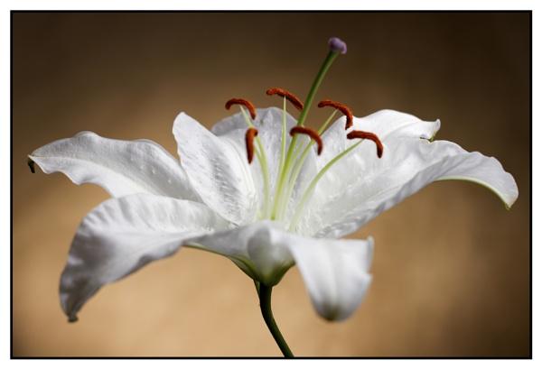 White lily by cyman1964uk