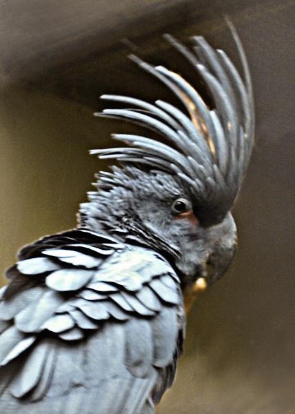 Palm Cockatoo by JuBarney