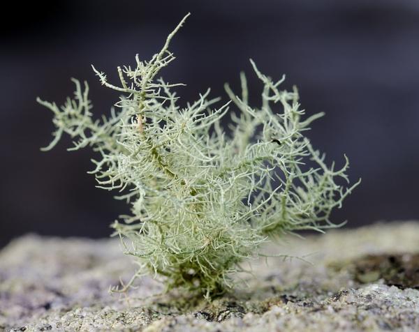 Lichen Tree (but smaller) by digicammad