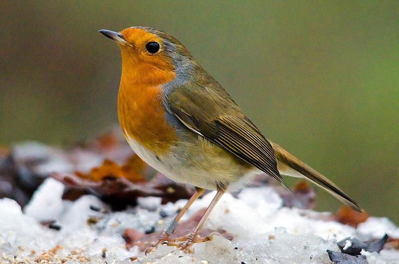 Bob the Robin