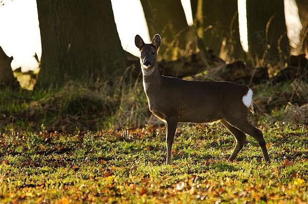 Roe Deer by icphoto