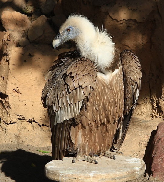 Vulture by bobsblues