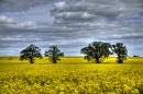 Mustard Field - Wigsthorpe