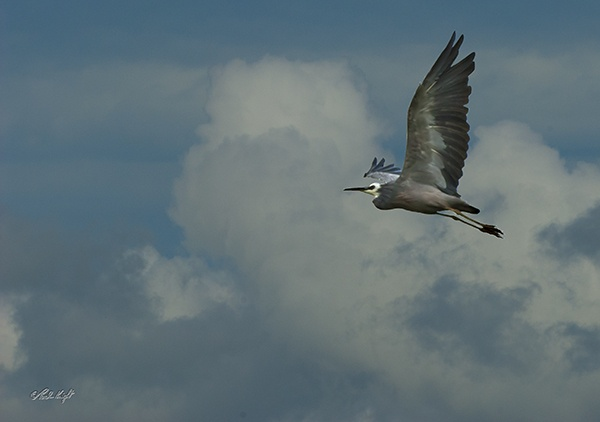 White faced heron#1241 by paulknight