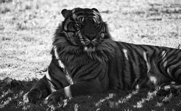 50 Shades of Grey? You Tiger!!!! by kentishtraveller