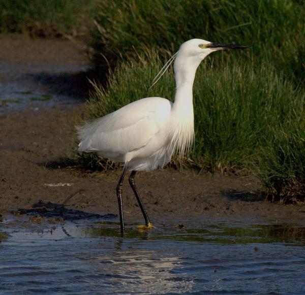 Little Egret by kentbirder