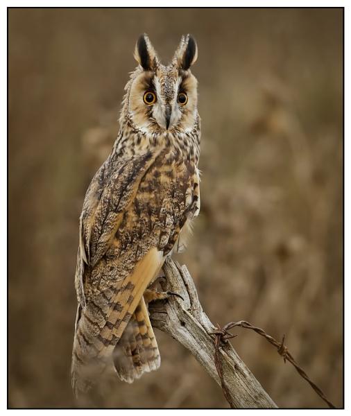 Long-eared Owl by Fotofunguy