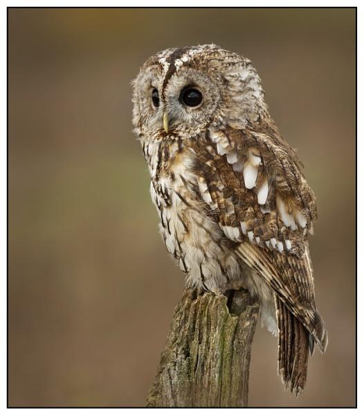 Tawny Owl by Fotofunguy