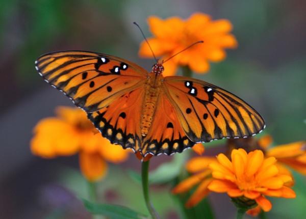 Gulf Fritillary Butterfly visiting Zinnias by raden
