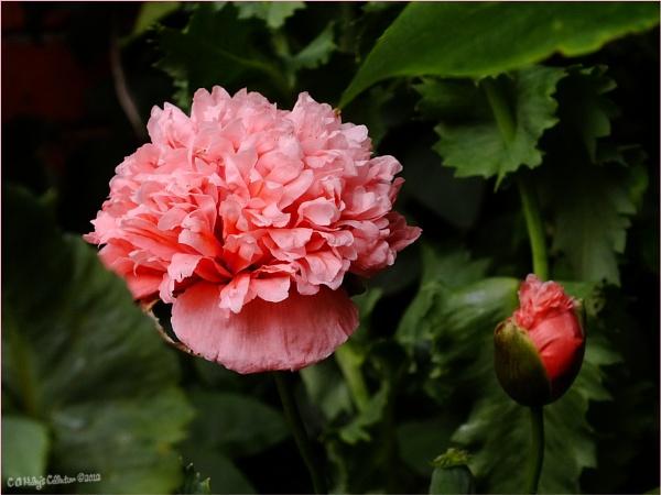 Double Peony Poppy by Humblebee