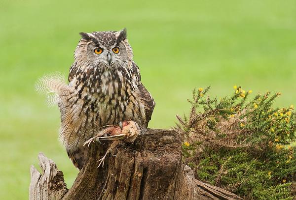 European Eagle Owl (c) by geoffrey baker