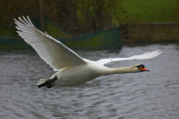 Swan in flight by steviemanse