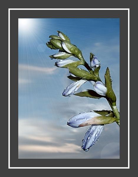 Blue Iris by Lulukirk
