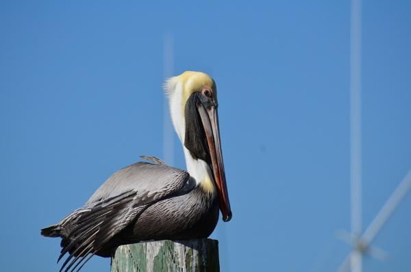 Pelican by Dinky65