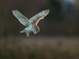 Norfolk Barn Owl