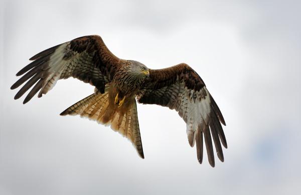 Red Kite by GlenP