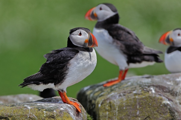 Puffin by GlenP