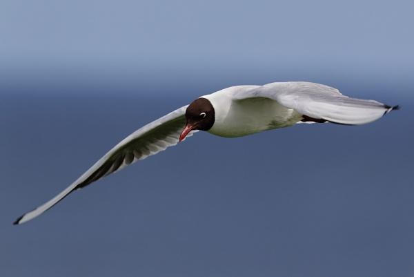 Black-headed gull by GlenP