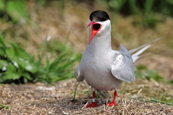 Arctic Tern by GlenP