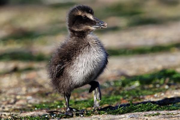 Eider chick by GlenP