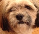 Close up of izzy Lhasa apso m by Artois