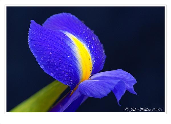 Beautiful Iris by jmw58