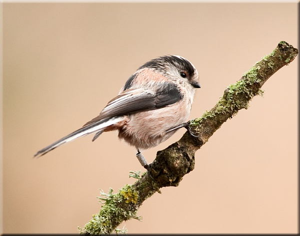 Long Tailed Tit by Trev_B