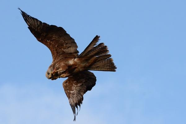 Black Kite in flight. by jgmford