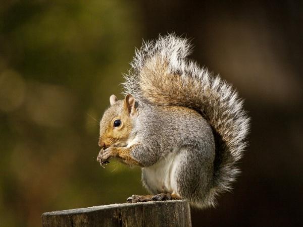 Grey Squirrel (Sciurus carolinensis) by Ray42