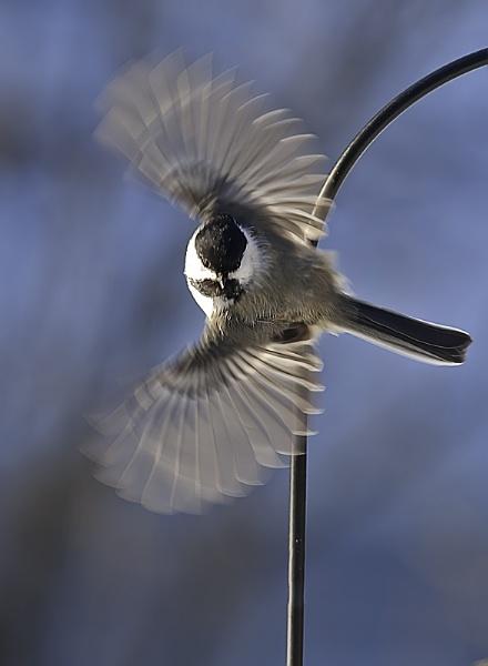 Chickadee taking flight by winger