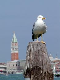 Yellow Legged Gull - Where?
