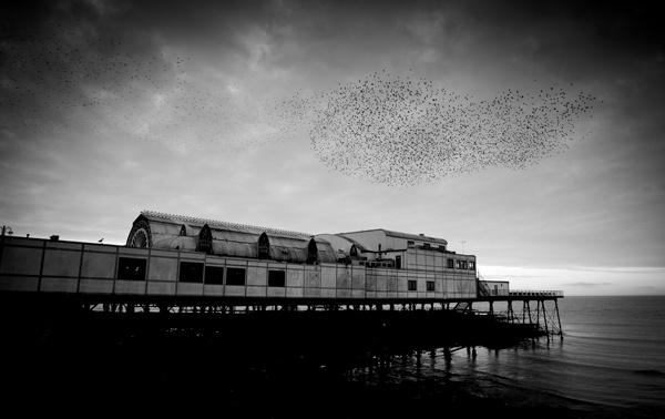 Starlings at twilight Aberystwyth by wynn469