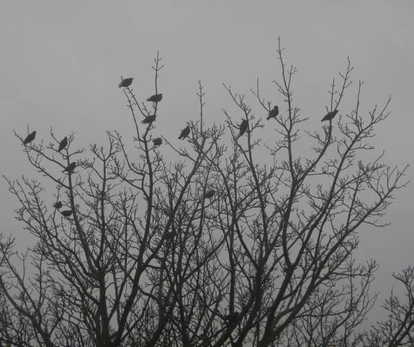 Starlings by mervyntattoo