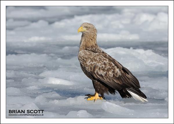Eagle by Brian_Scott