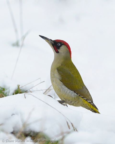 Green Woodpecker in the snow by WindowonWildlife