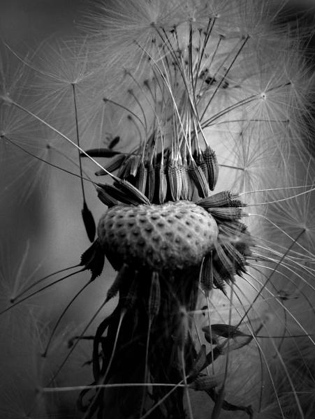 Dandelion Head by tonyng